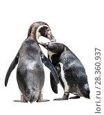Купить «Пара пингвинов чистят перья друг у друга. Фон белый изолировано», фото № 28360937, снято 9 апреля 2018 г. (c) Наталья Волкова / Фотобанк Лори