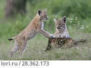 Купить «Eurasian Lynx ( Lynx lynx ), two cubs, siblings, playing together, having fun at a rotten tree stub.», фото № 28362173, снято 1 августа 2011 г. (c) age Fotostock / Фотобанк Лори