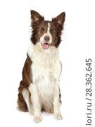 Купить «Collie border breed dog isolated on white background», фото № 28362645, снято 26 апреля 2018 г. (c) Алексей Кузнецов / Фотобанк Лори
