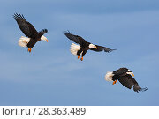 Купить «Series of Bald eagle (Haliaeetus leucocephalus) in flight, Homer, Alaska, USA, March. Digital composite.», фото № 28363489, снято 20 июля 2018 г. (c) Nature Picture Library / Фотобанк Лори