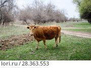 Купить «Корова пасётся в степи весенним днём», эксклюзивное фото № 28363553, снято 21 апреля 2018 г. (c) Игорь Низов / Фотобанк Лори