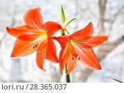 Купить «Гиппеаструм красный (Hippeastrum)», фото № 28365037, снято 21 февраля 2015 г. (c) Алёшина Оксана / Фотобанк Лори