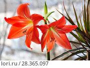 Купить «Гиппеаструм красный (Hippeastrum)», фото № 28365097, снято 21 февраля 2015 г. (c) Алёшина Оксана / Фотобанк Лори