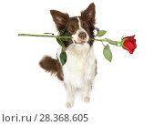 Купить «Collie border dog with red rose in his teeth», фото № 28368605, снято 26 апреля 2018 г. (c) Алексей Кузнецов / Фотобанк Лори