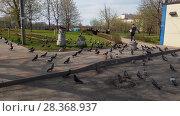 Купить «Moscow, Russia - April 30. 2018. man is feeding pigeons on city street», видеоролик № 28368937, снято 1 мая 2018 г. (c) Володина Ольга / Фотобанк Лори
