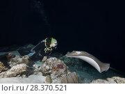 Купить «Female scuba diver looks at stingray in the night. Pink whipray or Banana-tail ray (Himantura fai)», фото № 28370521, снято 2 апреля 2018 г. (c) Некрасов Андрей / Фотобанк Лори