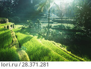 Купить «Tegalalang rice plantation terrace, Bali, Indonesia.», фото № 28371281, снято 19 марта 2018 г. (c) Iakov Kalinin / Фотобанк Лори