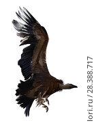 Купить «Griffon vulture flying isolated», фото № 28388717, снято 16 июня 2019 г. (c) Яков Филимонов / Фотобанк Лори