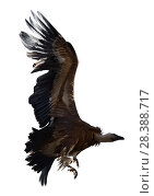 Купить «Griffon vulture flying isolated», фото № 28388717, снято 19 августа 2018 г. (c) Яков Филимонов / Фотобанк Лори