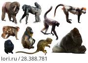 Купить «collection of different monkeys», фото № 28388781, снято 23 апреля 2019 г. (c) Яков Филимонов / Фотобанк Лори