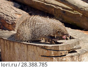 Купить «Banded mongoose (Mungos mungo) eats white mouse», фото № 28388785, снято 8 мая 2018 г. (c) Валерия Попова / Фотобанк Лори