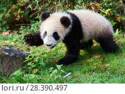 Купить «Giant panda cub (Ailuropoda melanoleuca) investigating its enclosure, captive. Yuan Meng, first Giant panda ever born in France, now aged 8 months, Beauval Zoo, France», фото № 28390497, снято 25 сентября 2018 г. (c) Nature Picture Library / Фотобанк Лори