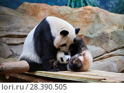 Купить «Giant panda female Huan Huan playing with her cub (Ailuropoda melanoleuca). Yuan Meng, first Giant panda ever born in France, now aged 8 months, Beauval Zoo, France», фото № 28390505, снято 27 мая 2019 г. (c) Nature Picture Library / Фотобанк Лори