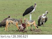 Black-backed jackal (Canis mesomelas), scavenging with  Marabou stork (Leptoptilos crumenifer) and White backed vulture (Gyps africanus)  Masai-Mara Game Reserve, Kenya. Стоковое фото, фотограф Denis-Huot / Nature Picture Library / Фотобанк Лори