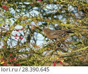 Купить «Blackbird (Turdus merula) female feeding on berries in Hawthorn (Crataegus monogyna) hedge, Norfolk, England, UK, November.», фото № 28390645, снято 22 мая 2018 г. (c) Nature Picture Library / Фотобанк Лори