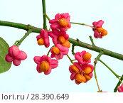 Купить «Spindle (Euonymus europacus) berries», фото № 28390649, снято 16 июля 2018 г. (c) Nature Picture Library / Фотобанк Лори