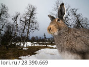 Купить «Mountain hare (Lepus timidus) portrait, moulting from winter to summer coat, Vauldalen, Norway. May.», фото № 28390669, снято 17 июля 2018 г. (c) Nature Picture Library / Фотобанк Лори