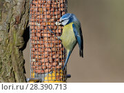Купить «Blue tit (Parus caeruleus) feding on peanuts from a bird feeder, Gloucestershire, UK, February.», фото № 28390713, снято 27 мая 2018 г. (c) Nature Picture Library / Фотобанк Лори