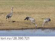Купить «Common / Eurasian crane (Grus grus) pair foraging as a third bird looks on, Gloucestershire, UK, February.», фото № 28390721, снято 26 апреля 2019 г. (c) Nature Picture Library / Фотобанк Лори