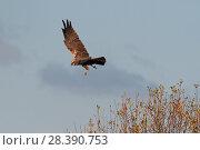 Купить «Female Marsh harrier (Circus aeruginosus) turning in flight, RSPB Greylake, Somerset, UK, December.», фото № 28390753, снято 16 августа 2018 г. (c) Nature Picture Library / Фотобанк Лори