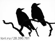 Купить «Two Rooks (Corvus frugilegus) silhouetted as they perch on a tree branch at their roost site at sunset, Gloucestershire, UK, February.», фото № 28390781, снято 23 апреля 2019 г. (c) Nature Picture Library / Фотобанк Лори