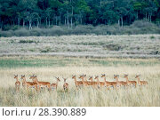 Купить «Impala (Aepyceros melampus) herd of females standing alert, Masai-Mara game reserve, Kenya», фото № 28390889, снято 28 мая 2020 г. (c) Nature Picture Library / Фотобанк Лори