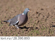 Купить «Wood pigeon (Columba palumbus) foraging for wheat seeds in a recently drilled field, Cornwall, UK, April.», фото № 28390893, снято 5 июля 2020 г. (c) Nature Picture Library / Фотобанк Лори