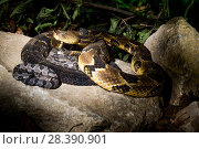 Купить «Timber rattlesnake (Crotalus horridus) with babies aged two days, part of a captive breeding and release programme, Roger Williams Park Zoo.», фото № 28390901, снято 22 октября 2018 г. (c) Nature Picture Library / Фотобанк Лори