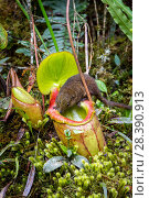 Купить «Mountain tree shrew (Tupaia montana) feeding on nectar secreted by the endemic Pitcher Plant (Nepenthes kinabaluensis) Montane forests (at 2200m-3000m...», фото № 28390913, снято 23 мая 2018 г. (c) Nature Picture Library / Фотобанк Лори