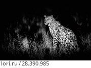 Купить «Leopard, (Panthera pardus kotiya) Yala National Park,   Sri Lanka. Taken with Infra red camera.», фото № 28390985, снято 28 мая 2018 г. (c) Nature Picture Library / Фотобанк Лори