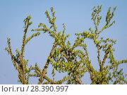 Купить «Budgerigars (Melopsittacus undulatus) flocking on tree, Northern Territory, Australia», фото № 28390997, снято 21 октября 2018 г. (c) Nature Picture Library / Фотобанк Лори