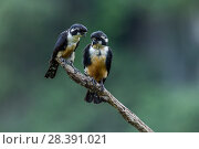 Купить «Black-thighed falconet (Microhierax fringillarius) pair, male on right, female on left, Malaysia. The world's smallest bird of prey, the size of a sparrow.», фото № 28391021, снято 23 февраля 2020 г. (c) Nature Picture Library / Фотобанк Лори