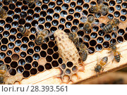 Купить «Bees (Apis mellifera) around a queen cell in a beehive which has been infected with Varoa mites (Varroa destructor) Cockermouth, Cumbria, UK, June.», фото № 28393561, снято 18 июня 2018 г. (c) Nature Picture Library / Фотобанк Лори