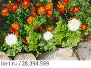 Купить «Бархатцы и астры в летнем саду», фото № 28394589, снято 21 августа 2017 г. (c) Елена Коромыслова / Фотобанк Лори