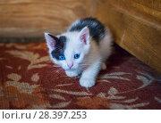 Купить «Белый котенок White kitten with blue eyes», фото № 28397253, снято 30 апреля 2018 г. (c) Baturina Yuliya / Фотобанк Лори
