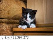 Купить «Черно-белый котенок Black and white kitten», фото № 28397273, снято 30 апреля 2018 г. (c) Baturina Yuliya / Фотобанк Лори