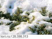 """Купить «Заполярье, Ямало-Ненецкий округ, Тазовский район, месторождение """"Русское"""", в 135 км от порта Находка Тюменской области гигантское месторождение тяжелой нефти, газа, кустовая площадка с подъездными путями, окрестные заполярные пейзажи. Весна, снег, проталины, первые листочки заполярной весны, клюква», эксклюзивное фото № 28398313, снято 28 апреля 2008 г. (c) Александр Циликин / Фотобанк Лори"""