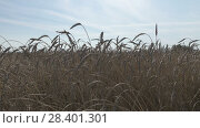 Купить «Field of golden ripe wheat ready to be harvested in summer sunny day», видеоролик № 28401301, снято 10 мая 2008 г. (c) Куликов Константин / Фотобанк Лори