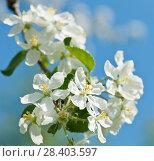 Купить «Весенний день.Цветы яблони на фоне голубого неба», фото № 28403597, снято 13 мая 2018 г. (c) Екатерина Овсянникова / Фотобанк Лори