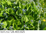 Купить «Myosotis, flowering plants in the Boraginaceae family. In northern hemisphere they are colloquially denominated Forget-me-nots or Scorpion grasses», фото № 28403825, снято 12 мая 2018 г. (c) Валерия Попова / Фотобанк Лори