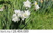 Купить «White narcissus (Narcissus poeticus)», видеоролик № 28404089, снято 9 мая 2018 г. (c) Ольга Сейфутдинова / Фотобанк Лори