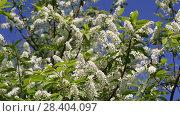 Купить «Цветущая черемуха (Prunus Padus)», видеоролик № 28404097, снято 9 мая 2018 г. (c) Ольга Сейфутдинова / Фотобанк Лори