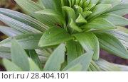Купить «Лилейная трещалка (Lilioceris lilii) Scarlet lily beetle, Red lily beetle, Lily leaf beetle, Lily beetle (Lilioceris lilii), sits on a leaf», видеоролик № 28404101, снято 9 мая 2018 г. (c) Ольга Сейфутдинова / Фотобанк Лори