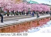 Купить «Аллея цветущей сакуры в Королевском парке. Стокгольм. Швеция», фото № 28404109, снято 30 апреля 2018 г. (c) Сергей Афанасьев / Фотобанк Лори