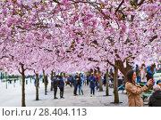 Купить «Аллея цветущей сакуры в Королевском парке. Стокгольм. Швеция», фото № 28404113, снято 30 апреля 2018 г. (c) Сергей Афанасьев / Фотобанк Лори