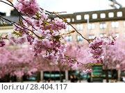Купить «Цветущая сакура. Королевский парк. Стокгольм. Швеция», фото № 28404117, снято 30 апреля 2018 г. (c) Сергей Афанасьев / Фотобанк Лори