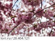 Купить «Веточки цветущей сакуры. Королевский парк. Стокгольм. Швеция», фото № 28404121, снято 30 апреля 2018 г. (c) Сергей Афанасьев / Фотобанк Лори