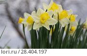 Купить «White narcissus (Narcissus poeticus)», видеоролик № 28404197, снято 4 мая 2018 г. (c) Ольга Сейфутдинова / Фотобанк Лори