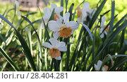 Купить «White narcissus (Narcissus poeticus)», видеоролик № 28404281, снято 9 мая 2018 г. (c) Ольга Сейфутдинова / Фотобанк Лори