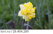 Купить «Желтые нарциссы Yellow daffodils (Narcissus poeticus)», видеоролик № 28404289, снято 9 мая 2018 г. (c) Ольга Сейфутдинова / Фотобанк Лори